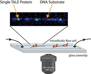 A single-molecule imaging technique let the researchers observe how individual TALE proteins interacted with a strand of DNA.