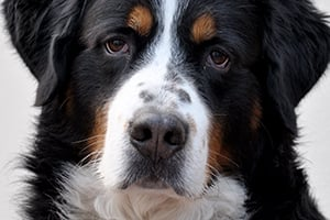 Scientists test nanoparticle drug delivery in dogs with osteosarcoma